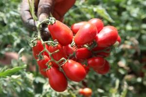 pomodoro corbarino nei campi